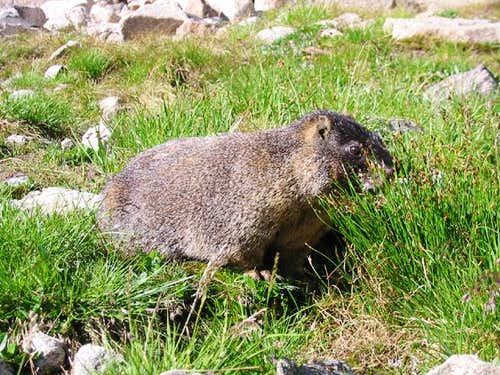 A yellow bellied marmot on...
