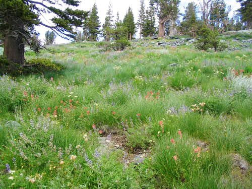 Tallac Wildflowers