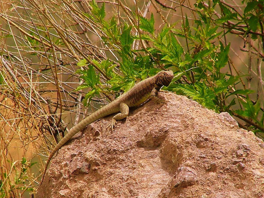 Lizard. Cañon del Colca, Perù.