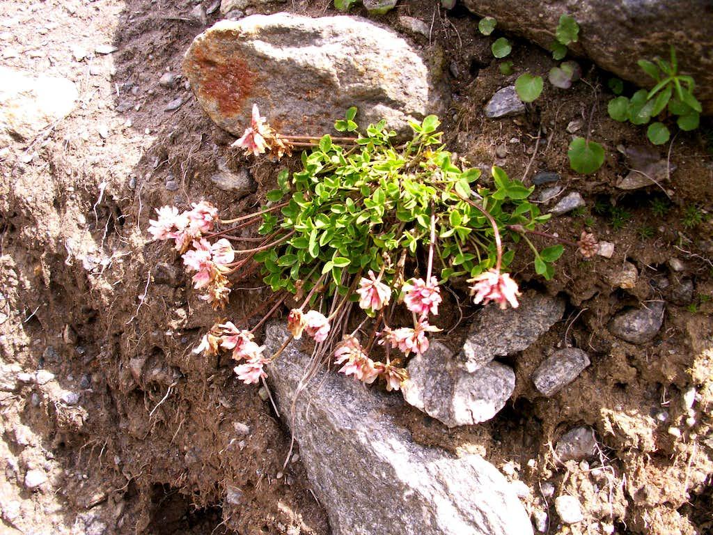 Some Trifolium ...