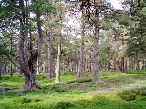 Calendonian pine in Glen Quoich