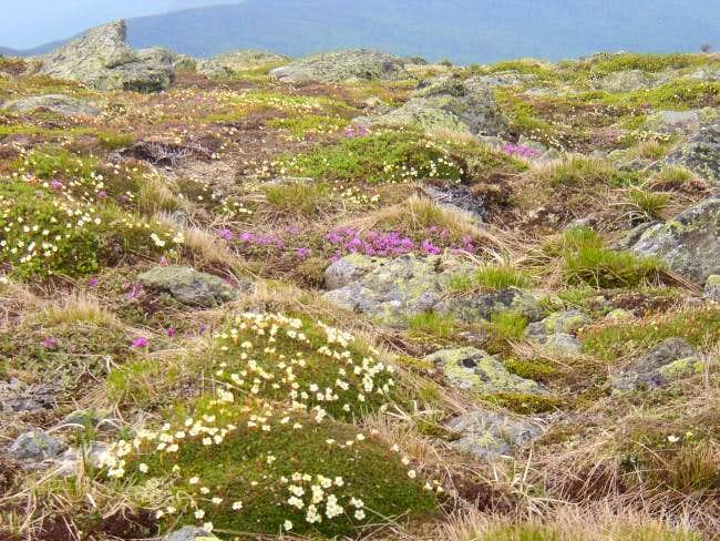 Wildflowers in the tundra at...