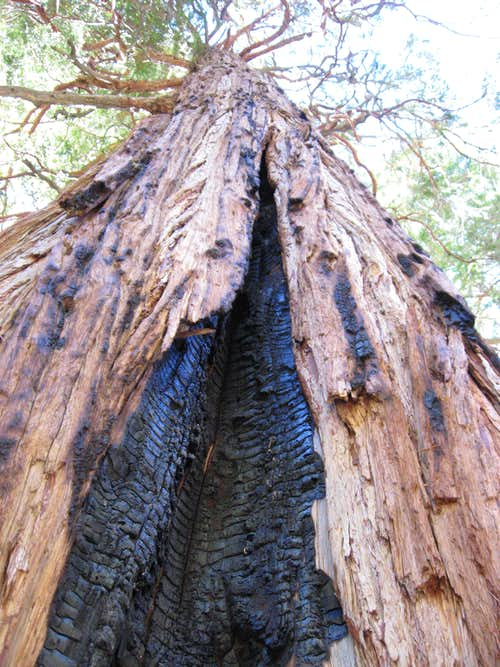 tree used for a fire shelter