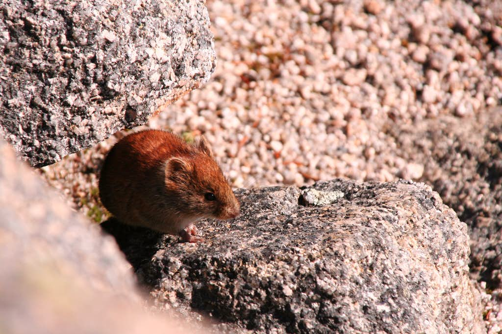 Summit Mouse