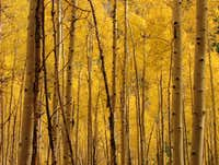 Aspens, Maroon Bells, CO.
