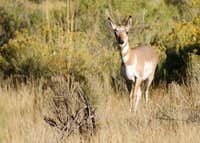 Curious Pronghorn Doe