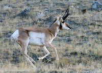 Running Pronghorn Buck