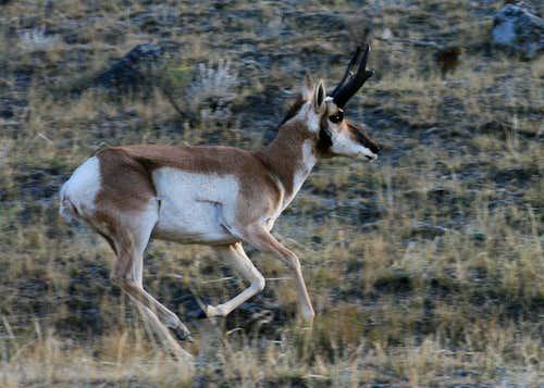 Running Pronghorn Buck