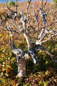 twisted birch