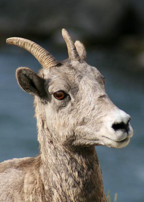 Bighorn Ewe, Mount Everts