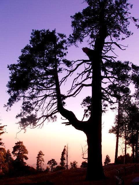 Cedar Silhouette at Sunset