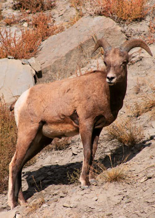Bighorn Ram Strikes a Pose