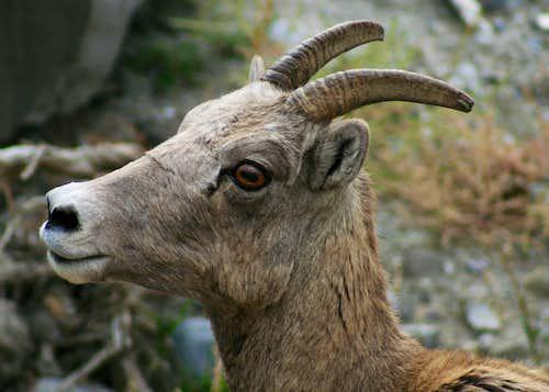 Bighorn Ewe on Mount Everts