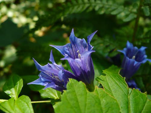 Willow gentian in Slovak paradise
