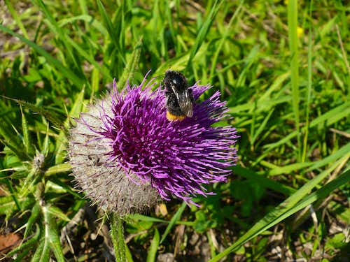 A bee on a bull thistle