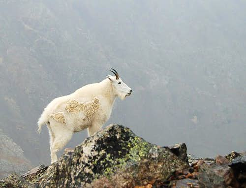 Proud Mountain Goat , Indeed!