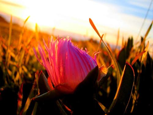 Flower at Sunset