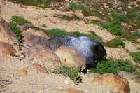 Fat Little Marmot