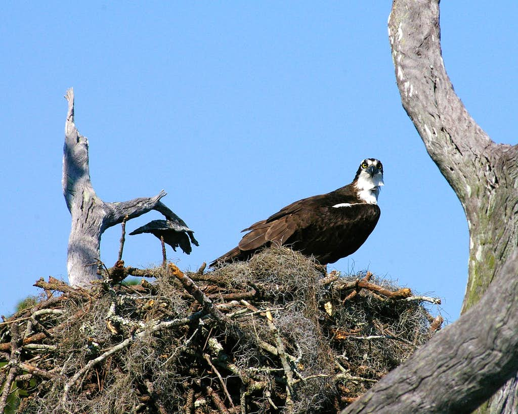 Osprey at home