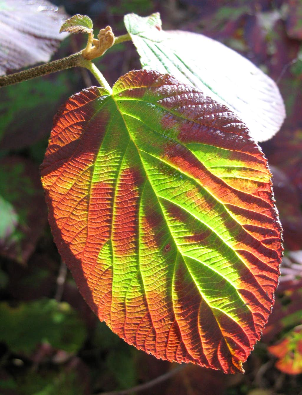 Silers Bald-- Leaf Patterns