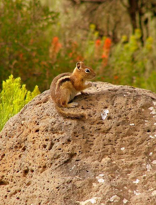 Mount Sopris squirrel
