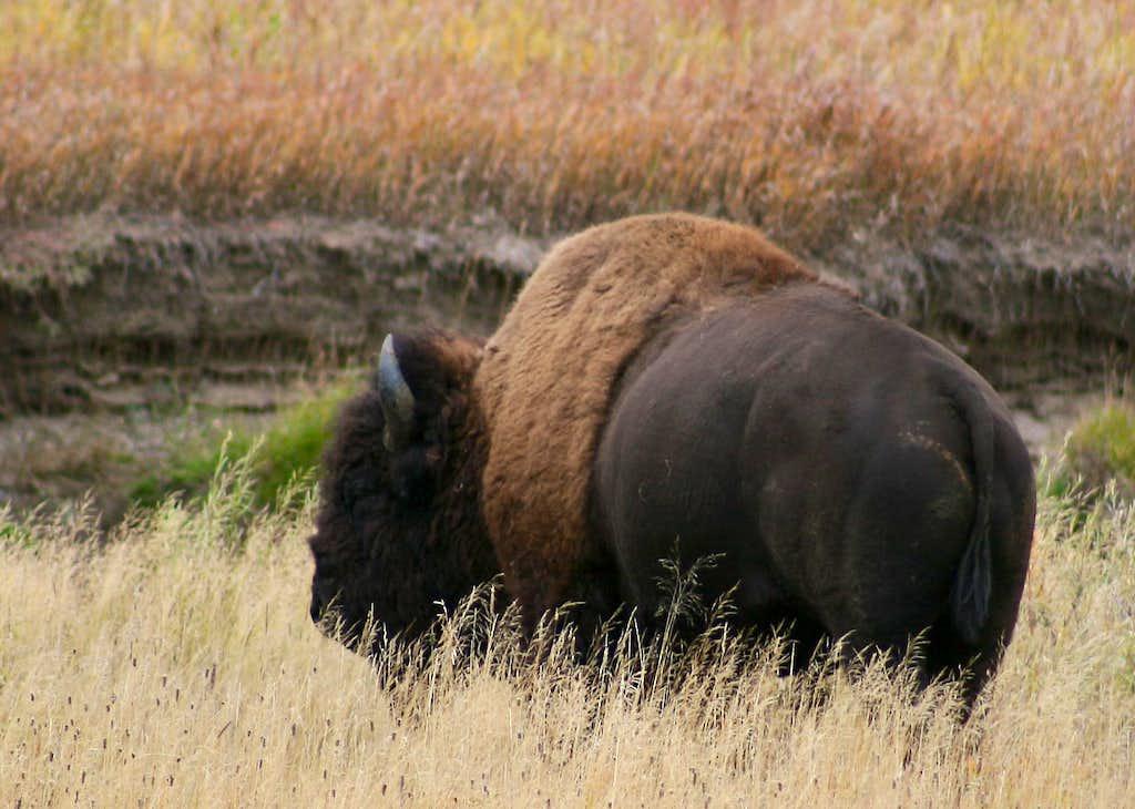Slough Creek Bison
