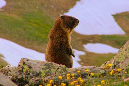 Loveland Pass Marmot.