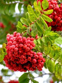 Fruits of Mountain Ash