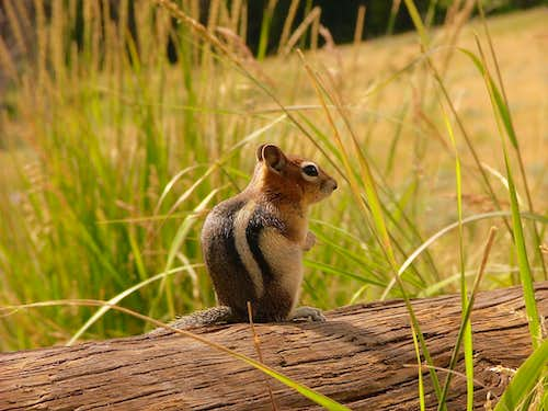 Golden Mantled Ground Squirrel. Yellowstone National Park.