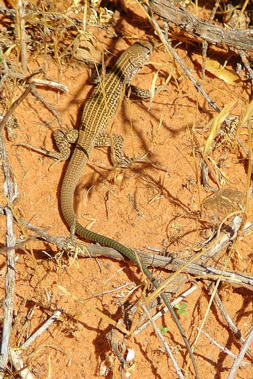 Lizard. Arches National Park.