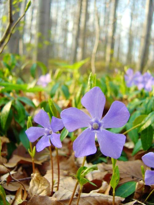 <b>Large Periwinkle</b> - <i>Vinca major</i>