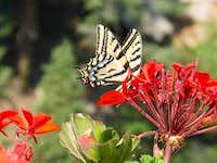 Butterfly on Longs Peak
