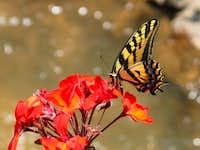 Butterfly on a Flower on Longs Peak