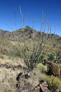 Organ Mountains plant life