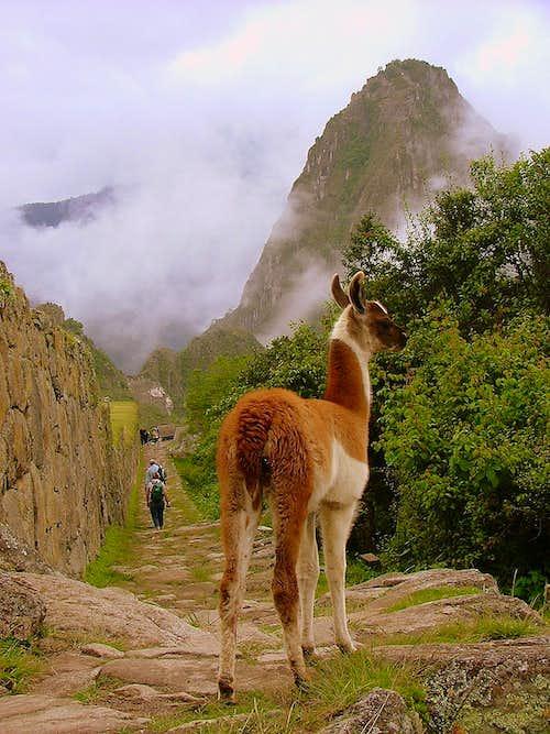 Vicuña and Huayna Picchu