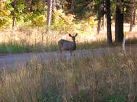 Mule Deer at Fourth of July