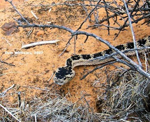 Great Basin Western Rattlesnake