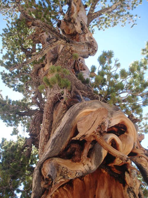 Crazy tree descending Dobbs west ridge