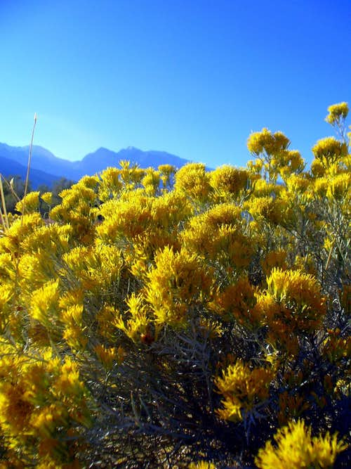 Rabbitbrush in morning sunlight