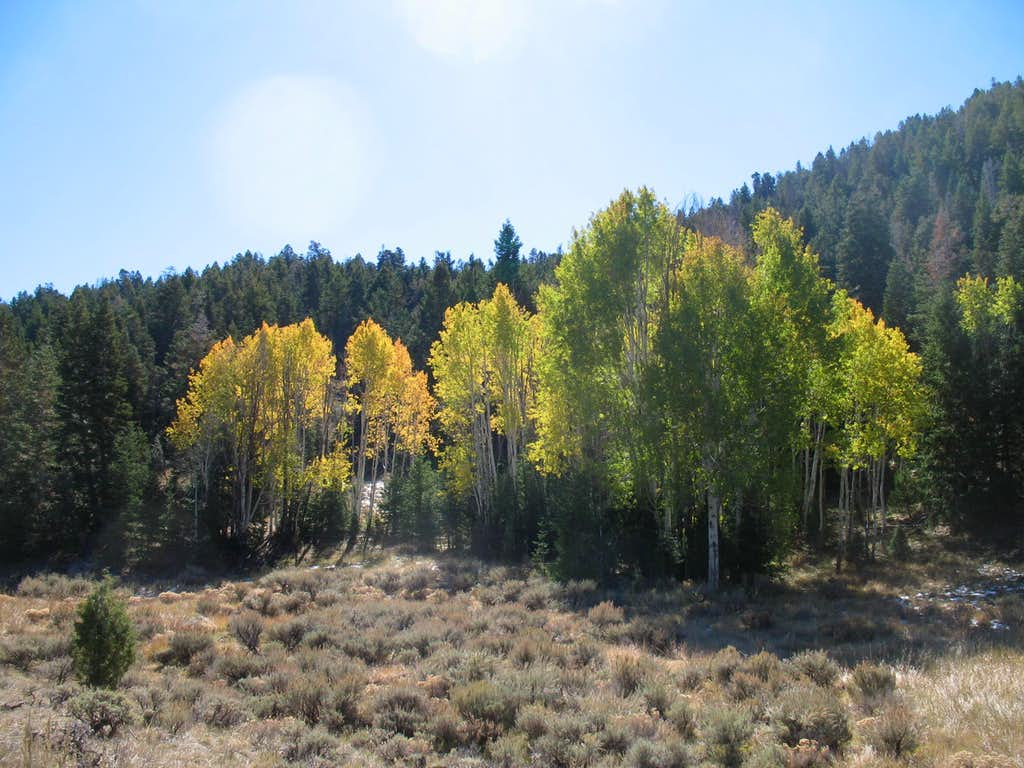 Aspens are some of