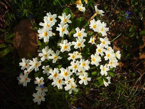 Flowers-Western  Alborz