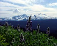 Lupins and Mt Sir Robert