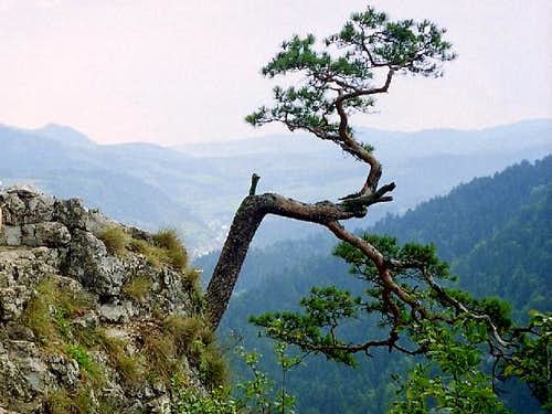 Relic Pine on top of Mount Sokolica (747 m)