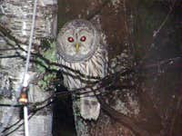 The Devil Bird of Stewart Mountain: AKA Oliver the Barred Owl
