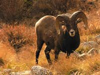 Bighorn sheep below Ellingwood Point