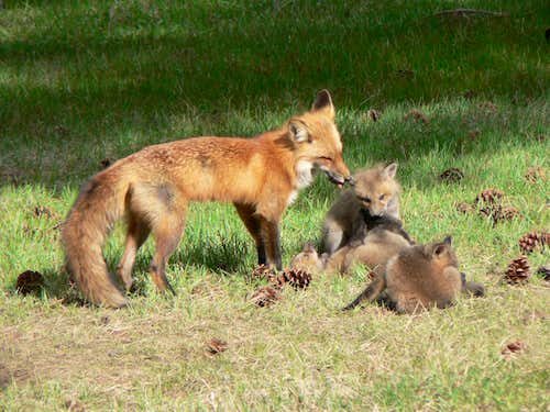 Foxes in RMNP