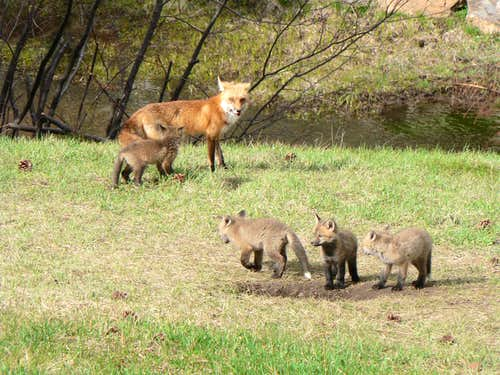 Mama fox with kits