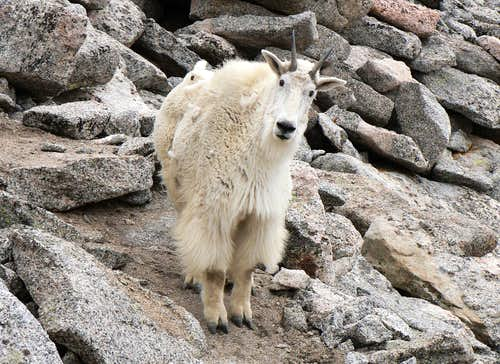 Mountain goat  encounter on Mount Evans