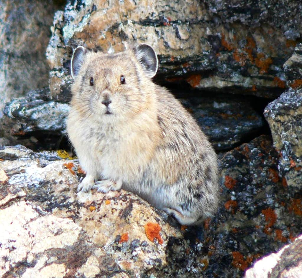 Pika on Huron Peak