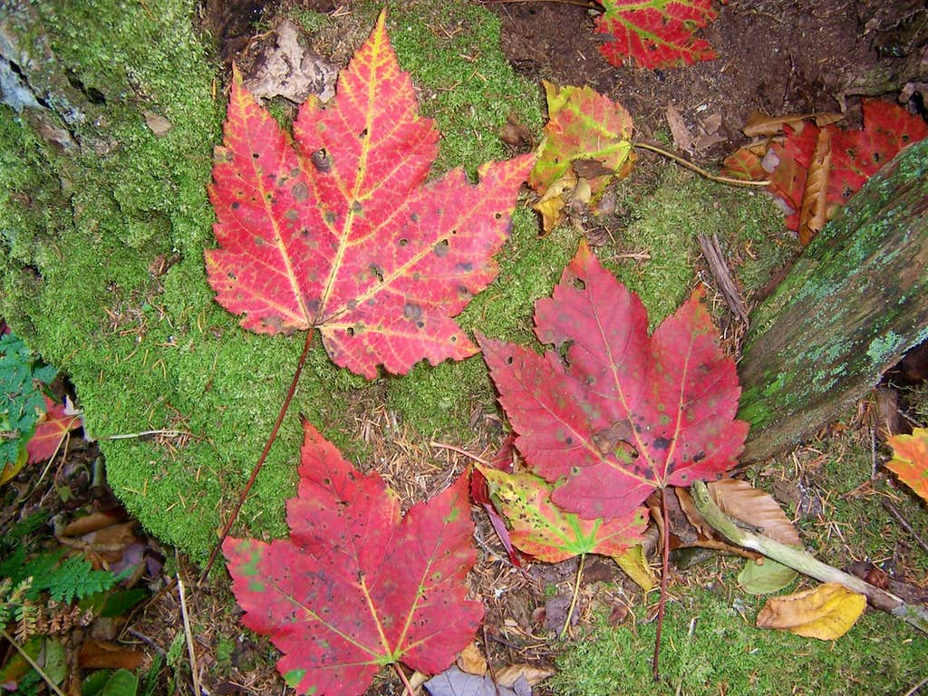 October Leaves on Red Spruce Knob